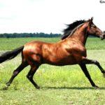 caballo andaluz marron oscuro pelo negro
