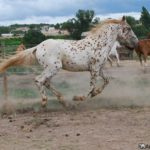 caballo appaloosa blanco con motas marrones corriendo