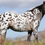 caballo appaloosa blanco y negro