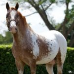 caballo appaloosa marron y blanco mitad