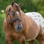 caballo appaloosa musculoso