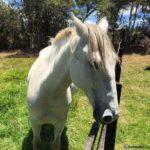 caballo bayo blanco cabeza