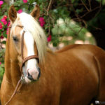 caballo bayo marron clariot pelo rubio