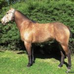 caballo bayo marron claro