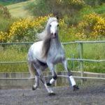caballo cartujano gris claro trotando