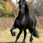 caballo frison al trote