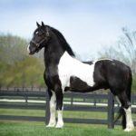 caballo frison color blanco y negro