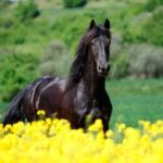 caballo frison precioso