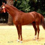 caballo hispano arabe campeon marron
