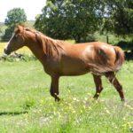 caballo hispano arabe en la pradera