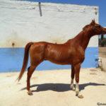 caballo hispano arabe joven