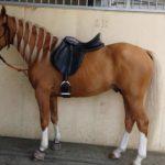 caballo hispano arabe marron patas blancas