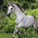 caballo lusitano blanco en la montaña