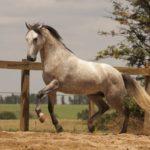 caballo lusitano de color blanco trotando