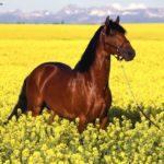 caballo lusitano marron en la pradera