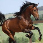caballo lusitano marron pelo negro corriendo
