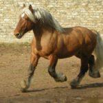 caballo percheron castaño pelo rubio trotando