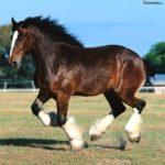 caballo percheron marron con patas blancas y pelo negro