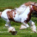 caballo percheron marron y blanco manchas