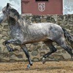 caballo pre pura rza español blanco moteado gris