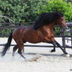 caballo pura raza español pre de color marron