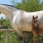 caballo pura raza española pre con su potro