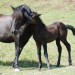 caballo pura sangre con su potro