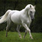 caballo pura sangre de color blanco