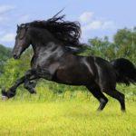 caballo pura sangre ingles negro saltando