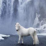 caballo salvaje islandes de color blanco