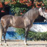 caballo tordo gris marron