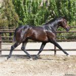 caballo tordo marron oscuro