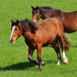 caballos alazanes en la pradera