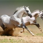 caballos arabes blancos corriendo
