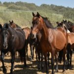 caballos pura raza español pre