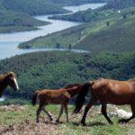 caballos salvajes en las montañas de Galicia