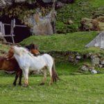 caballos salvajes en pareja
