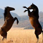 caballos salvajes marron oscuro peleando