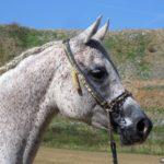 cabeza del caballo tordo blanco moteado