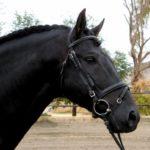 cabeza y cuello del caballo andaluz
