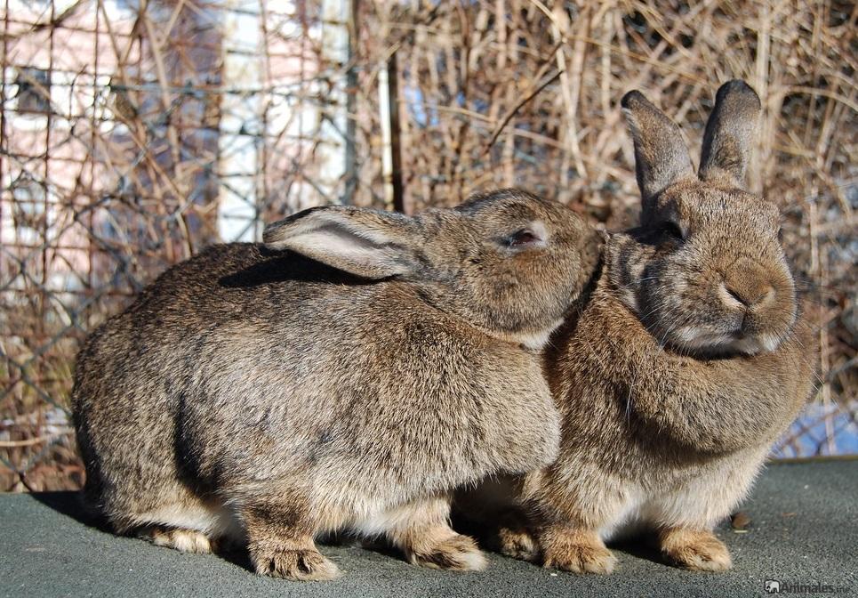 coneja gigante besando a su conejo