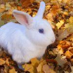 conejo blanco con ojos azules