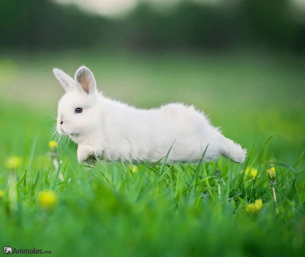 conejo blanco corriendo y saltando