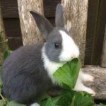 conejo enano holandés bicolor comiendo