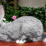 conejo gigante de flandes gris
