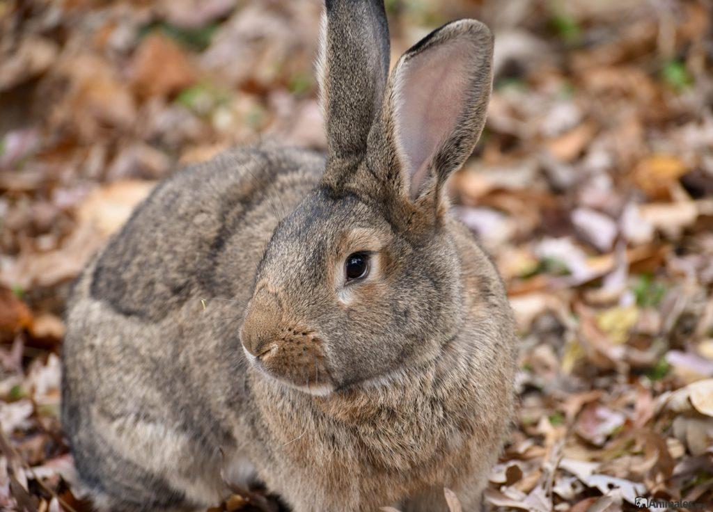 conejo gigante en el campo