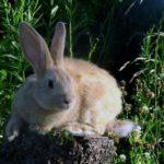conejo gigante salvaje color beig