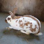 Conejo mariposa marrón y blanco