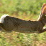 conejo salvaje corriendo
