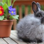 conejo angora de color gris